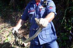 Cobra jararacuçu capturada pelo Corpo de Bombeiros (Foto:Divulgação)