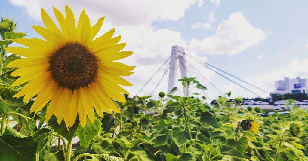 Girassóis embelezam a natureza dos raios solares, um lembrete do brilho da vida.