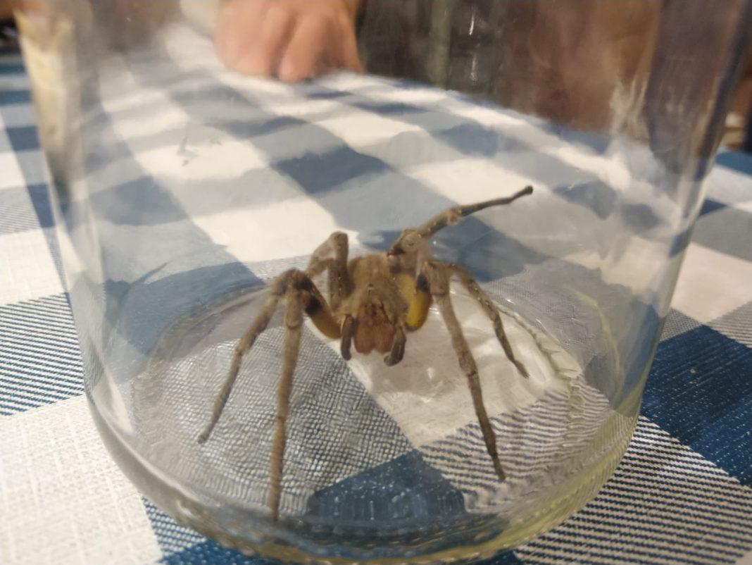 Corpo de Bombeiros atendeu caso de picada de aranha armadeira, no bairro Santa Luzia